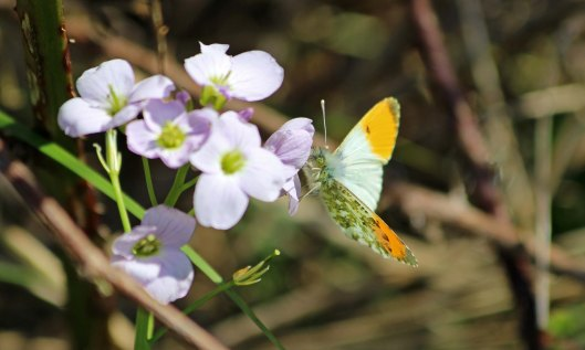 190410 Orange-tip male