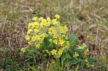 190414 cowslips (1)