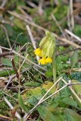 190414 cowslips (2)