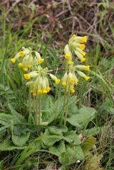 190414 cowslips (3)