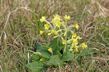 190414 cowslips (4)