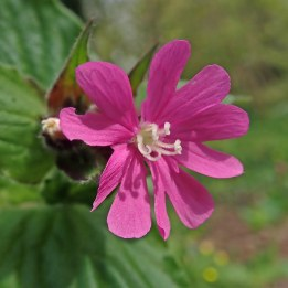 190418 (2) red campion without smut