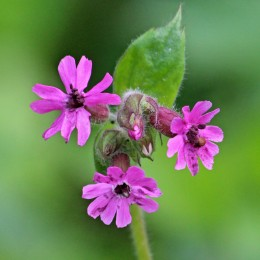 190418 (3) red campion with smut