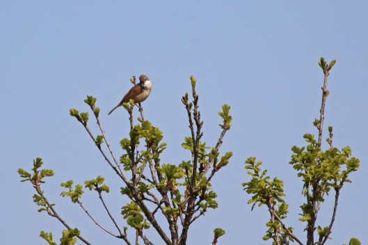 190419 whitethroat (1)