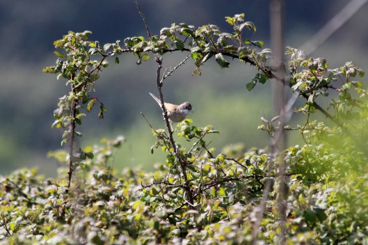 190419 whitethroat (2)