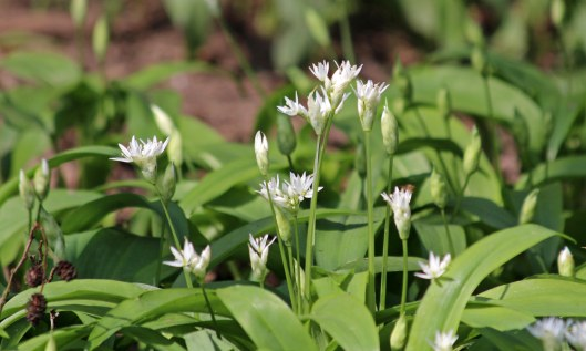 190420 ramsons (1a)