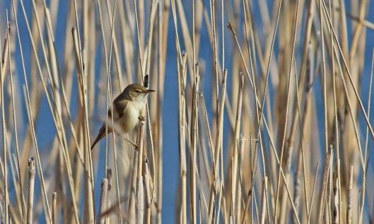 190421 reed warbler (1)
