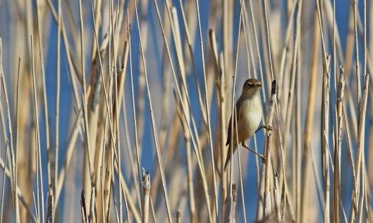 190421 reed warbler (2)