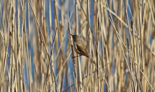190421 reed warbler (3)
