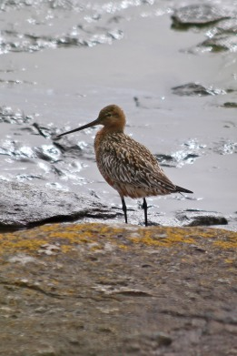 190423 bar-tailed godwit (1)