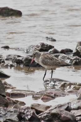 190423 bar-tailed godwit (2)