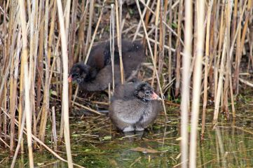 190428 moorhen chicks (1)