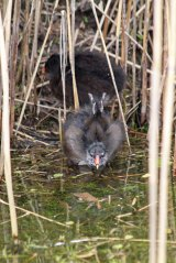 190428 moorhen chicks (3)