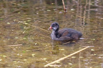 190428 moorhen chicks (4)