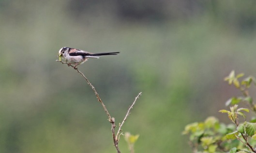190429 Long-tailed tit (1)