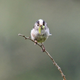 190429 Long-tailed tit (2)