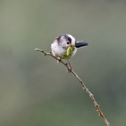 190429 Long-tailed tit (3)
