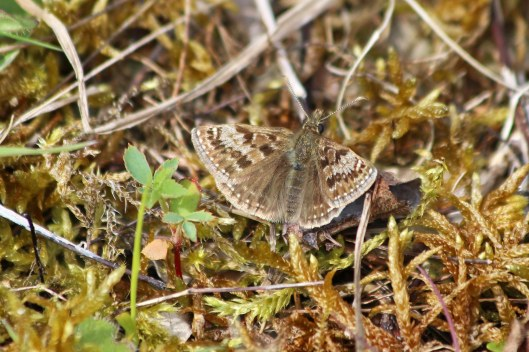 190430 dingy skipper 1