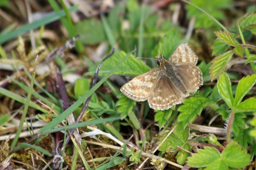 190430 dingy skipper 2