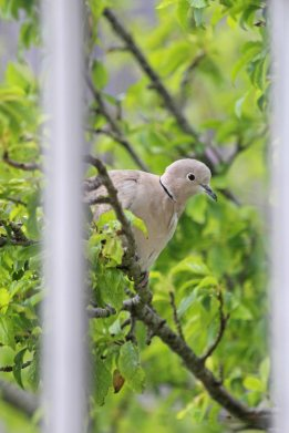 190507 collared dove (1)