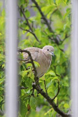 190507 collared dove (2)