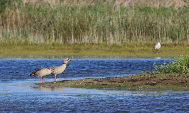 144 egyptian goose
