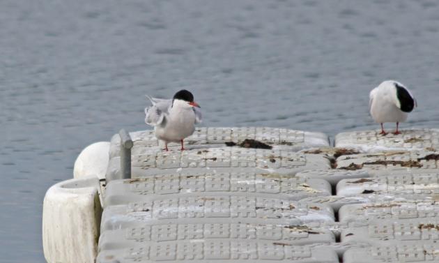 153 common tern