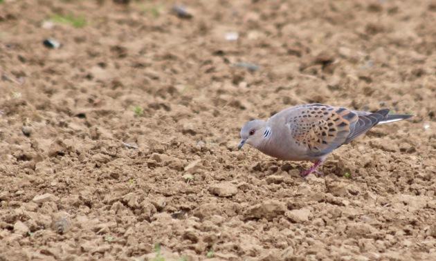 158 turtle dove