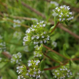 190508 wildflowers (3)