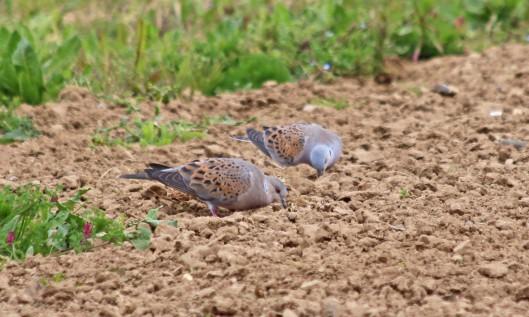 190509 turtle dove (1)