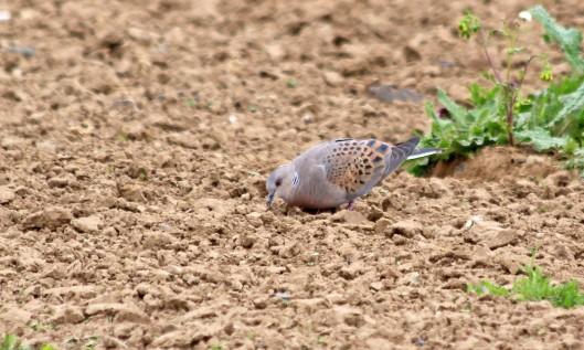 190509 turtle dove (2)