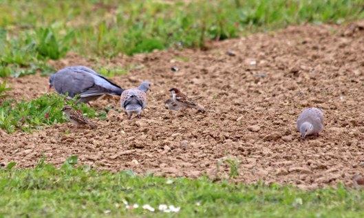 190509 turtle dove (3)