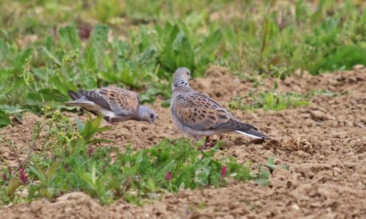 190509 turtle dove (4)