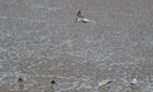 190513 common terns (2)