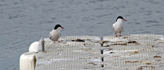 190513 common terns (3)