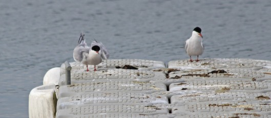 190513 common terns (4)