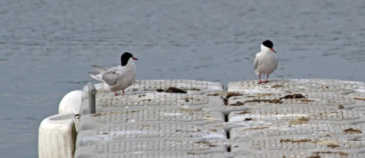 190513 common terns (5)