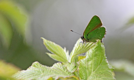 190515 green hairstreak (1)
