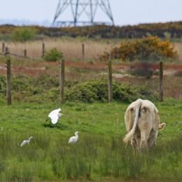 190516 cattle egrets