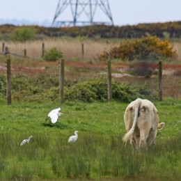 190516 cattle egrets