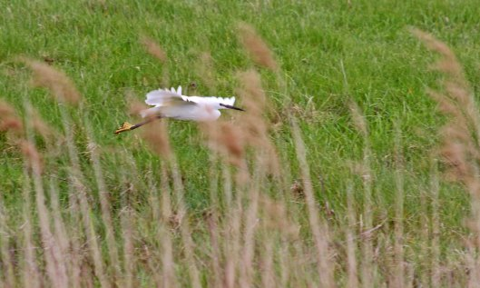 190516 little egret (1)