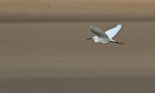190516 little egret (3)