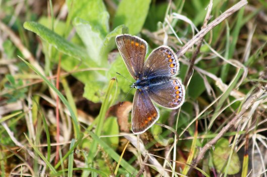 190519 common blue female