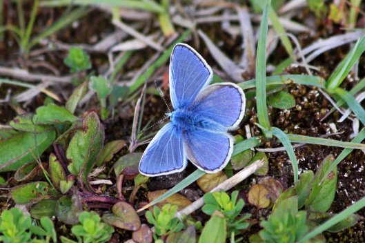 190519 common blue male