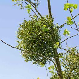 190522 mistletoe