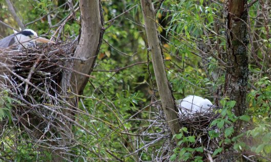 190522 nesting herons