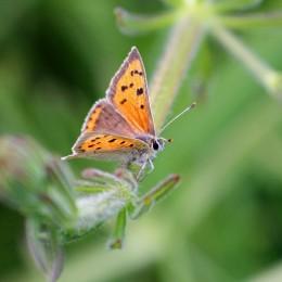 190522 small copper (2)