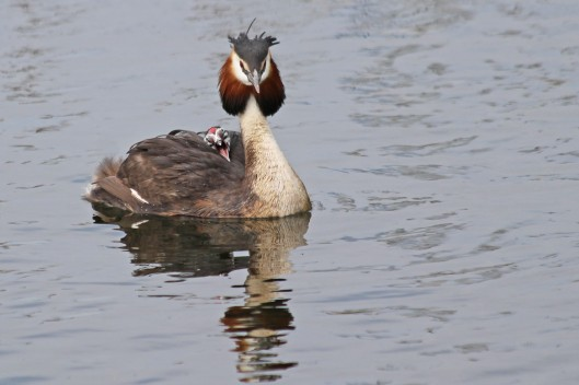 190524 Great crested grebe (1)