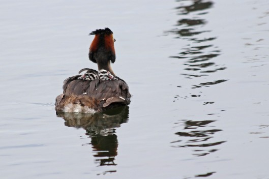 190524 Great crested grebe (3)