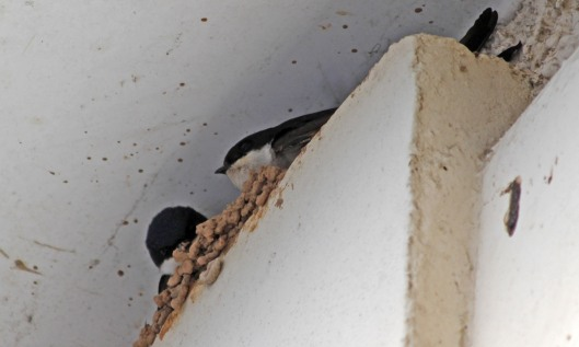 190526 house martins (3)